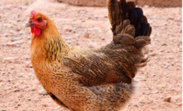 在山上养鸡怎么防蛇?