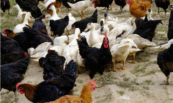 怎样搞无成本养鸡?
