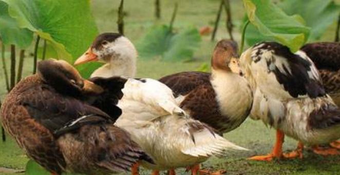 蛋鸭养殖行情预测分析