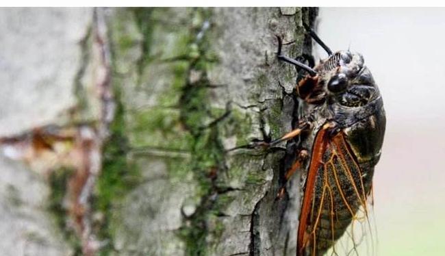 怎样才能养殖金蝉呢?