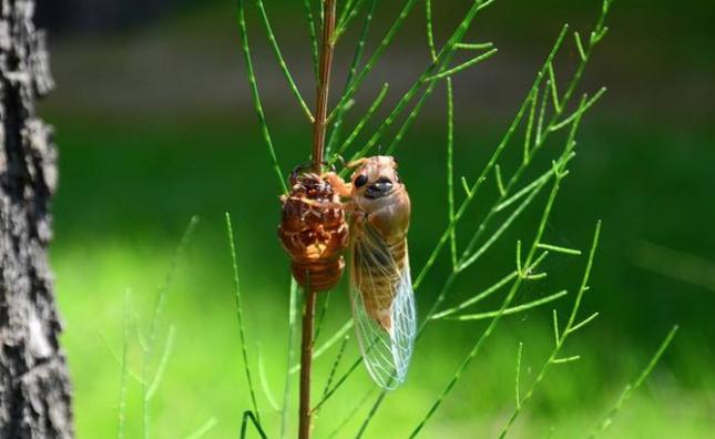吃野生金蝉有什么功效与作用呢?