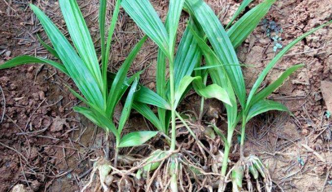 种植白芨种苗价格是多少?