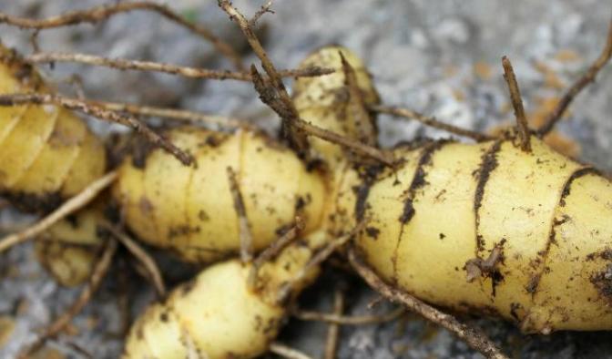 一亩地黄精种植的经济效益如何?