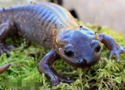 蝾螈是娃娃鱼吗它们有什么不同?