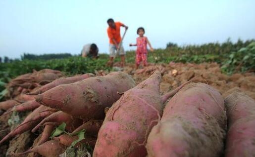 亩产三万斤红薯技术可信吗?