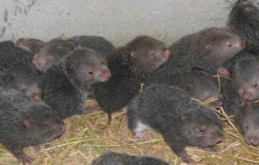 养100对竹鼠要投资多少钱?
