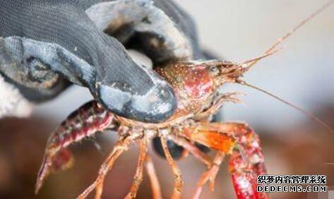 小龙虾几月份进洞休眠?
