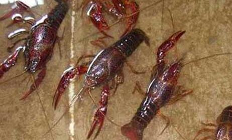 现在龙虾养殖要求主要有哪些?