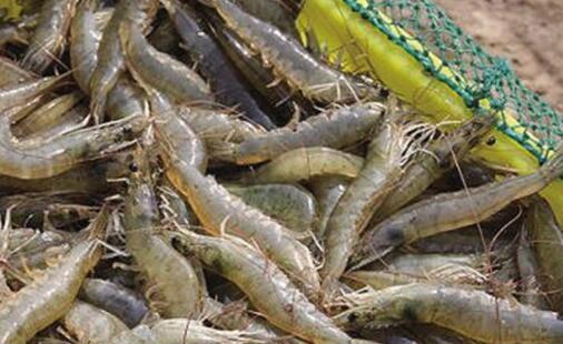 一亩白对虾一年成本多少?