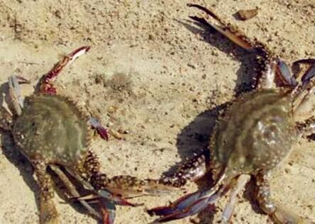 一亩稻田能养多少螃蟹?