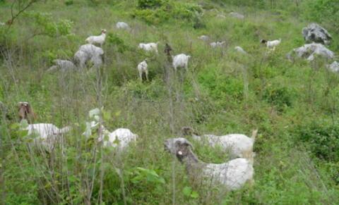 养羊是个坑是怎么回事?