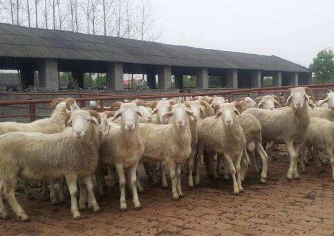 现在养羊最怕什么?