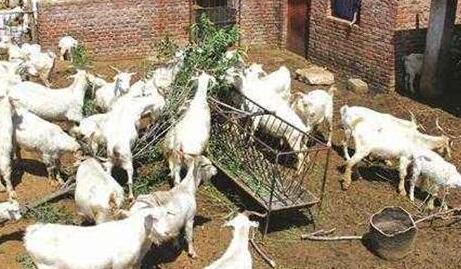 为什么不能养羊有什么原因?