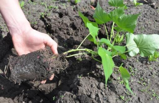 种植红薯栽多深合适?