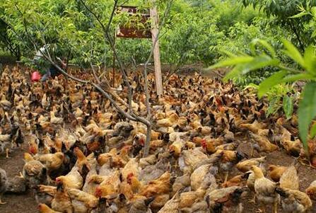 养鸡500只利润一般有多少?