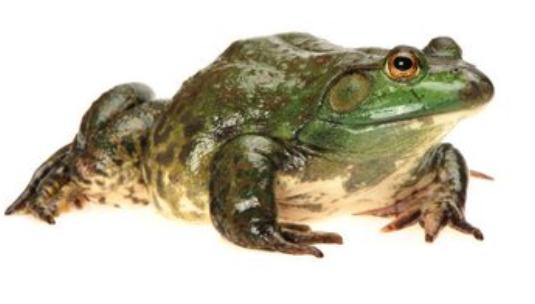 牛蛙的认识