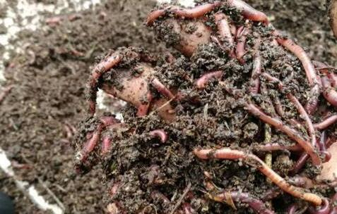 揭秘养殖蚯蚓是大骗局究竟是什么?