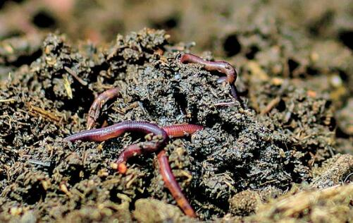 黑蚯蚓的养殖技术主要有哪些?