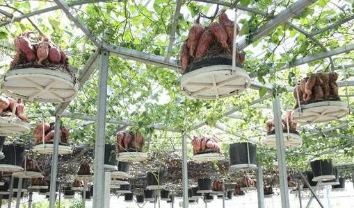 无土栽培地瓜(空中吊长)技术技巧有哪些?