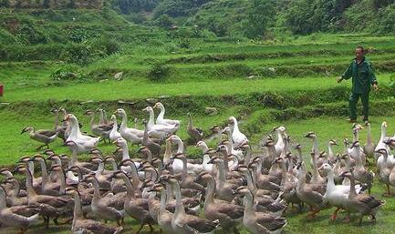现在散养鹅500只利润一般有多少?
