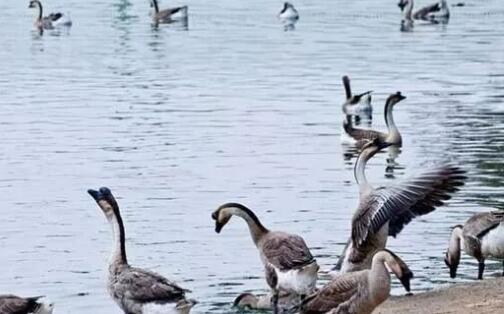 散养鹅一般要注意什么?