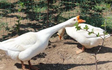 一亩地养多少散养鹅合适?