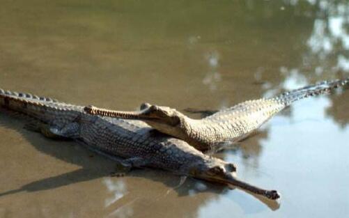 鳄鱼人工要注意哪些方面?
