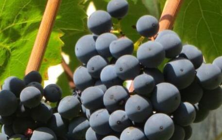葡萄种植时间一般是什么时候?