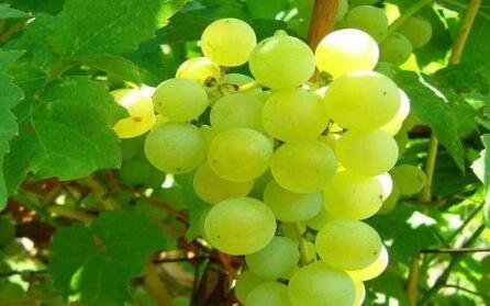 葡萄种植土壤要求有哪些?