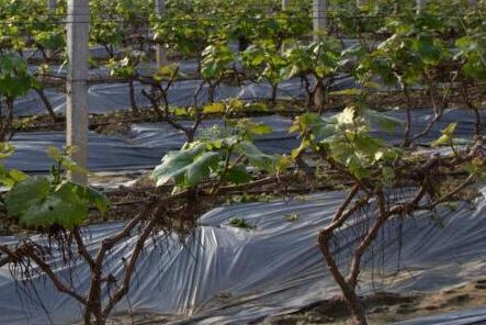 种葡萄一亩大概有多少利润?