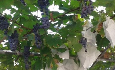 一般种5亩葡萄能赚多少钱?