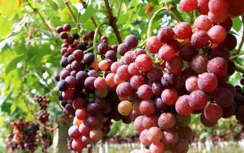 现在葡萄种植成本一亩要多少?
