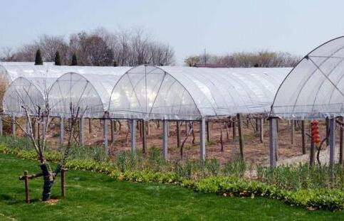 一亩大棚葡萄一年利润有多少?