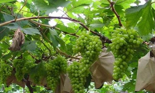 葡萄种植一亩的纯收入大概有多少?