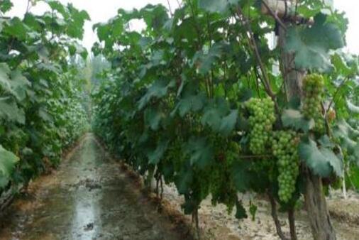 种植葡萄的基本知识有哪些?