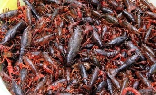 养小龙虾一亩的成本和利润怎么计算?