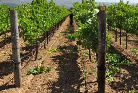 葡萄种植距离多少合适?