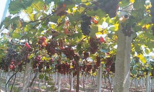 2020年葡萄种植前景怎么样?
