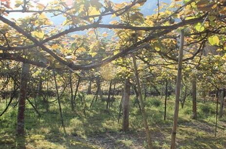 葡萄架要怎么搭产量才高?