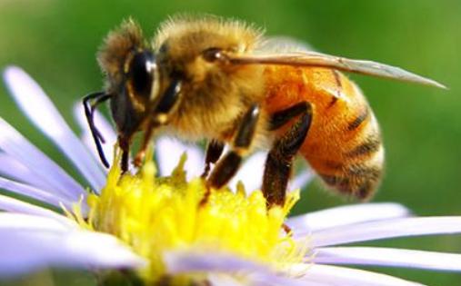 蜂王的最长寿命有多长?