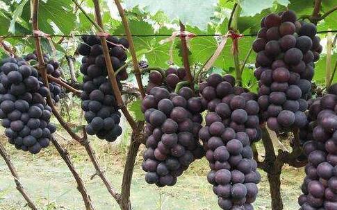 种2亩葡萄一年能挣多少?