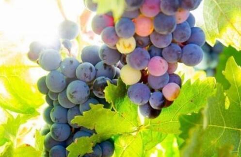 葡萄种植成本一般要多少合适?