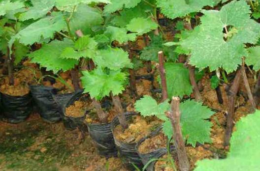 葡萄苗的价格一般多少一株?