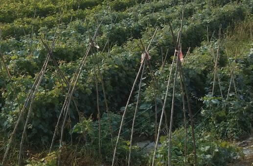 葡萄苗一般什么时候种植好?