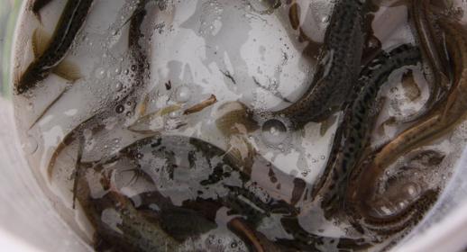 泥鳅养殖成本和利润分析