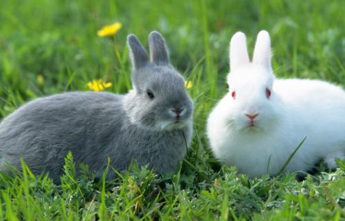 獭兔养殖技术分析