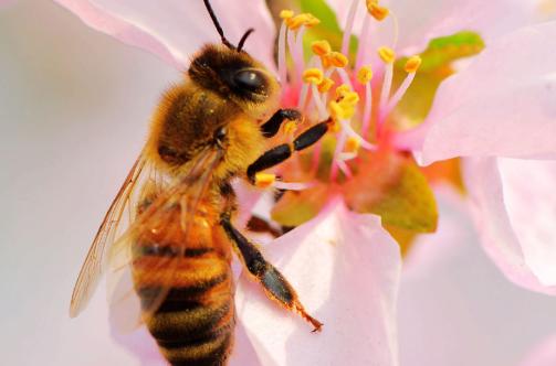 蜜蜂养殖技术有哪些?