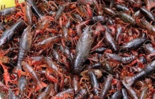 影响小龙虾养殖效益因素有哪些?
