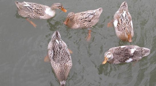 肉鸭养殖成本和利润分析