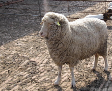 牧草养羊技术有哪些